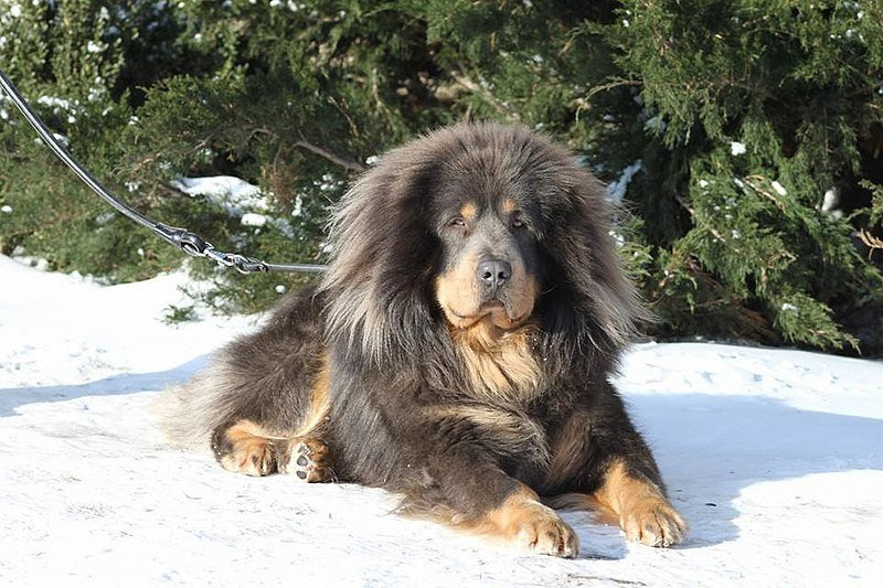 Tibetian matstiff dog breed