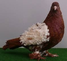 Fringed pigeons have natural curls on the back of this breed