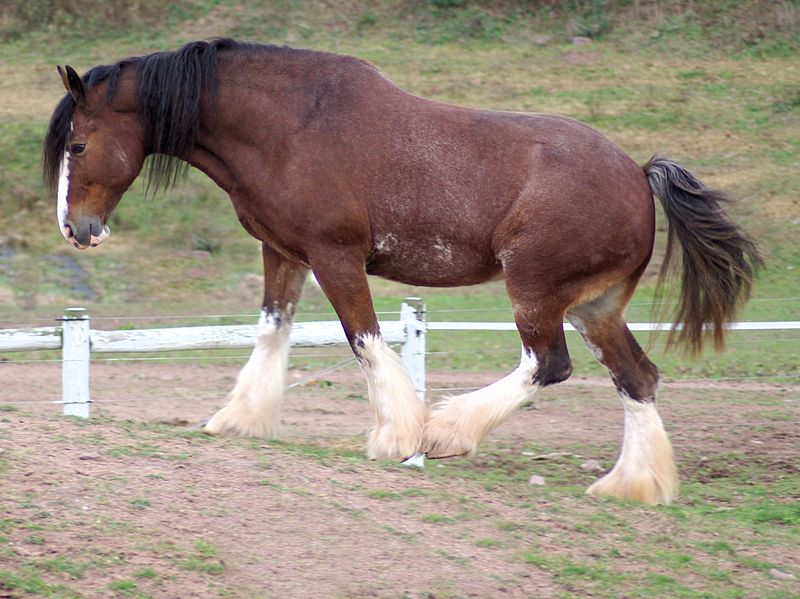 Clydesdale horse information