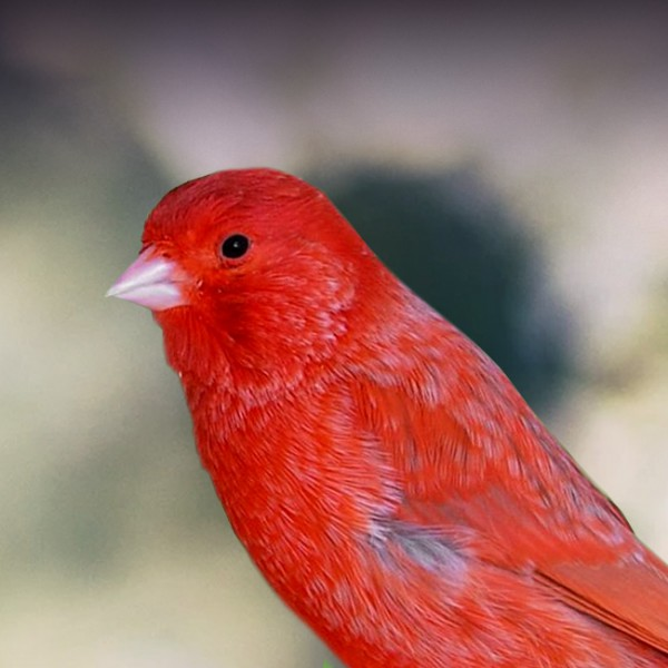 RED FACTOPR CANARY