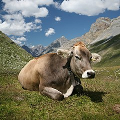 Pet animal cow